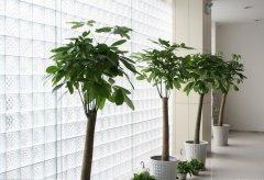 办公室发财树放置位置和养殖方法
